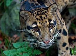 clouded leopard.jpg